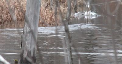 Three River Otters Swimming, Diving in Pond, Scaring Mallard Ducks Twice