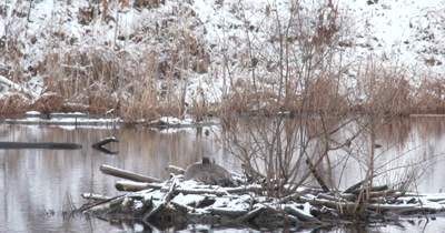 Canada Goose, Hen on Beaver Lodge Covered With Snow, Nesting