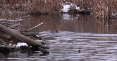 Muskrat Swimming Near Beaver Lodge, Exits Around Corner