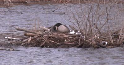 Canada Goose On Nest, Tucking Nesting Material Around Body