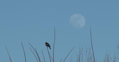Red Winged Blackbird in Spring, Calling, Full Moon Beyond