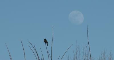 Red Winged Blackbird in Spring, Calling, Good Eyeshine, Full Moon Beyond