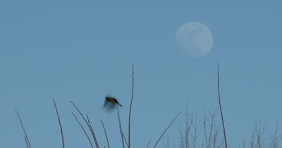 Red Winged Blackbird in Spring, Exits, Full Moon Beyond