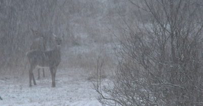 White-tailed Deer, OOF in BG, Spring Snowstorm, Blizzard in Deciduous Woods