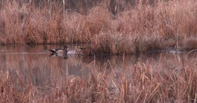 Wood Duck Drakes Swimming Near Feeding Muskrat, Stay Close to Muskrat, Looking