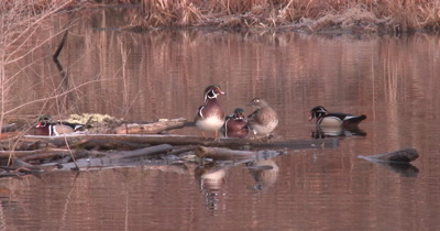 Three Male Wood Ducks Surround Mated Pair, One Settles Between Pair, Watches