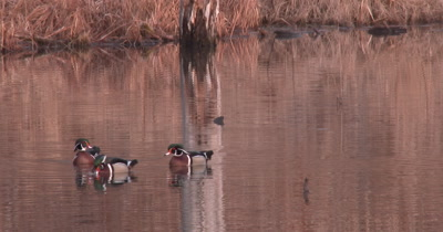 Wood Duck Drakes in Pond, Swimming Toward Camera, One Bobs Head in Display