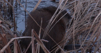 Muskrat Sitting in Pond, Looking