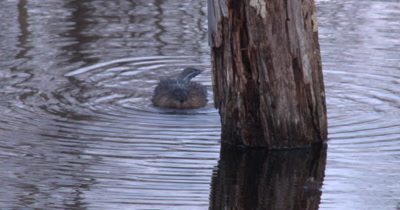 Muskrat Feeding, Chewing While Floating In Pond