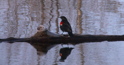 Red Winged Blackbird Standing on Log in Pond, Moves to Right, Exits