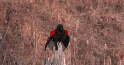 Red Winged Blackbird On Tree Stump, Calls
