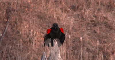 Red Winged Blackbird in Spring, Dips Head Down, Calls