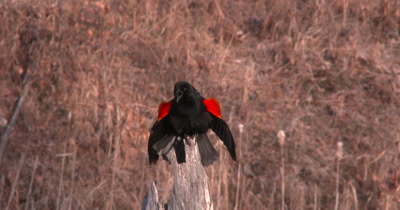 Red Winged Blackbird, Calling From Exposed Tree Stump