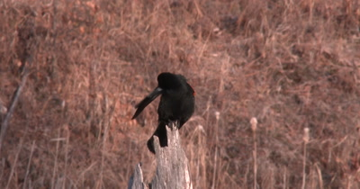 Red Winged Blackbird, Preening, Fluffing Feathers, Then Calls Toward Camera