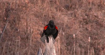 Red-winged Blackbird Alternately Preening, Then Calling, Repeating