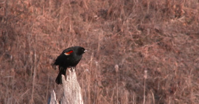 Red Winged Blackbird Looking Down, Calls, Startles, Exits
