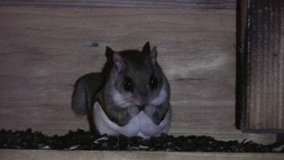 Northern Flying Squirrel in Feeder At Night, Feeding