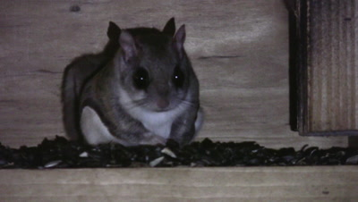 Northern Flying Squirrel in Feeder At Night, Another Joins Briefly, Exits