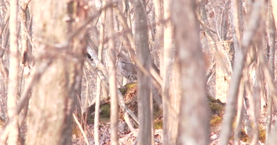 Ruffed Grouse Standing on Mossy Hummock In Woods, Drums