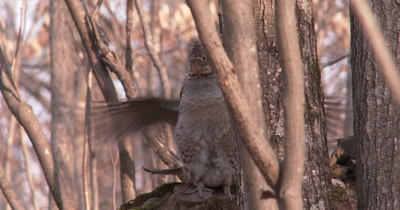 Ruffed Grouse Drumming, Head Partially Hidden Behind Tree