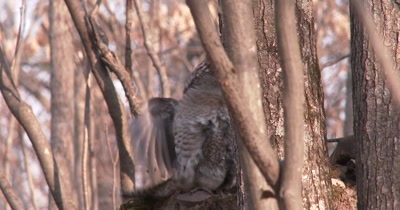 Ruffed Grouse Drumming, Gets Inturrupted, Moves Off Quickly, Squirrel Follows, Exits