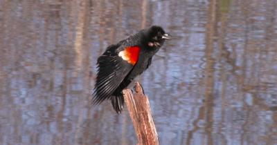 Red-winged Blackbird, Callling