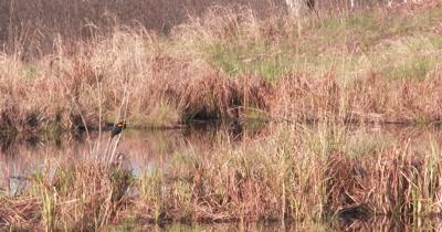 Red-winged Blackbird Pair in Wetland Habitat, ZO to WA Pond View