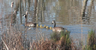Canada Goose Family, Swimming In Pond Past Cattails, One Goose Drinks