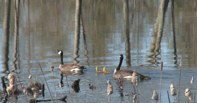 Canada Goose Family Swimming Past Cattails, Tree Reflection in Water in BG