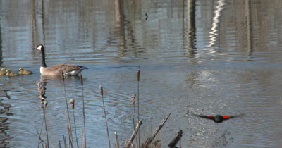 Canada Goose Family Swimming, Red-winged Blackbird Enters Scene, Flys Straight Toward Camera