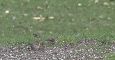 White-throated Sparrows and Female Purple Finch Feeding, Another Sparrow Hops in, Fights, Scares Off Others