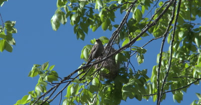 Parasitic Brown-headed Cowbird Looking At Oriole Nest in Tree, Inspecting Nest for Egg-laying