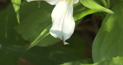 Annelid, Worm Clinging to Trillium Flower, Northern Deciduous Habitat