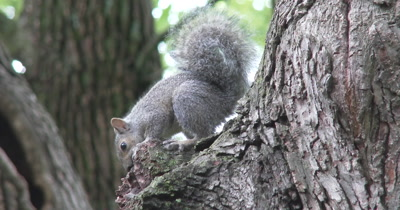 Young Eastern Gray Squirrel Playing With Rock Embedded in Tree Bark, Exits
