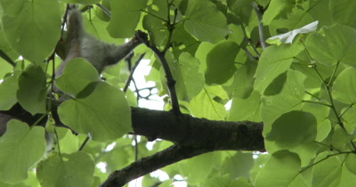 Young Eastern Gray Squirrel Playing With Leaves in Nest Tree, Folding Leaves, Chewing