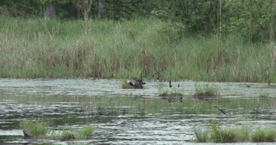 Wood Duck Hen and New Ducklings Preening, Muskrat Swims Through Frame