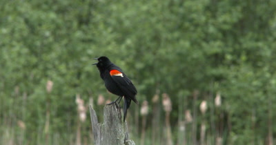 Red-winged Blackbird on Dead Tree, Calls, Exits
