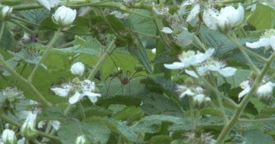 Harvestman Among Blackberry Blossoms, Cleaning Leg in Mouth