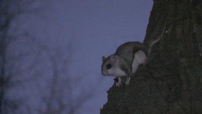Flying Squirrel on Side of Tree, Jumps, Exits