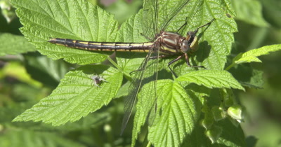 Lancet Clubtail Dragonfly Resting on Blackberry Vine, Jumping Spider Watching Closely