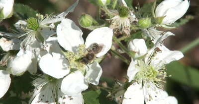 Small Bee Burrowing Through Blackberry Flowers, Gathering Pollen