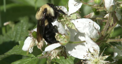 Bumblebee Gathering Pollen in Flowers On Blackberry, Exits