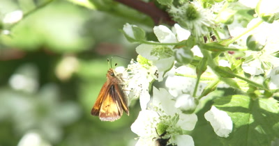 Skipper Butterfly on Blackberry Flowers, Bee Enters, Butterfly Exits