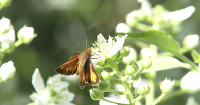Skipper Butterfly on Blackberry Flower, Exits