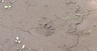 Raccoon Tracks in Mud, ZI to CU Single Foot Track