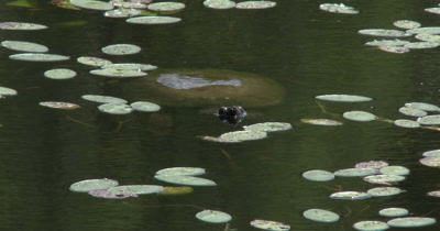 Snapping Turtle Resting on Surface of Water in Small Lake, Lily Pads Surrounding.M Camera Model