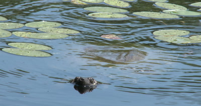 Snapping Turtle Hunting, Moving Toward Camera Underwater, Raises Head Out of Water