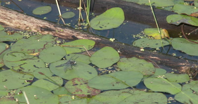 Dot-tailed White-face Dragonfly Sitting on Lily Pad in Pond, Exits, Returns