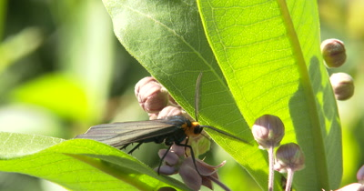 Yellow-collared Scape Moth Feeding On Milkweed Flower, Turns to Exit