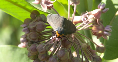 Yellow-collared Scape Moth Feeding On Milkweed Flower, Waving Antennae